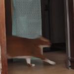 世界陸上だから、おデブな猫が全力疾走してみました。