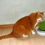 本日の気付き、老猫は猫草を食べると便秘解消効果があるのでは?