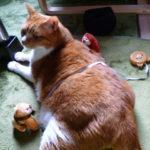 飼い猫の肥満度チェック方法!あなたの猫は大丈夫?