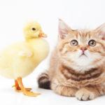 猫の人見知りの性格は幼少期の育て方で改善可能