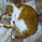 猫の起源と尻尾が短い猫が日本に多い理由