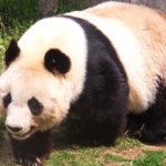 パンダの柄の不思議