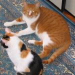 預かったメスの老猫と仲良くなれるのか?