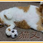 尻尾の短い猫が日本で多く存在していた理由