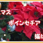 クリスマス、猫にはNGのポインセチア