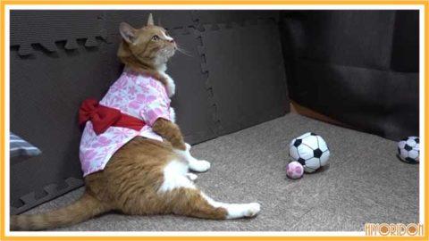 ゆかたを着た猫
