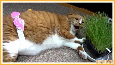 猫草を寝て食べる猫