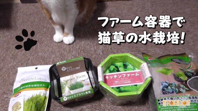 キッチンファームで猫草を水栽培して判明した問題点と課題