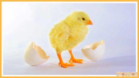 卵から羽化するヒヨコ