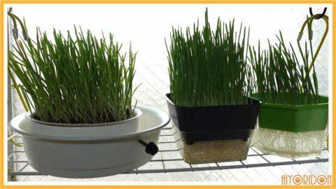 猫草水栽培