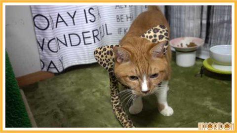ヒョウのコスプレ猫